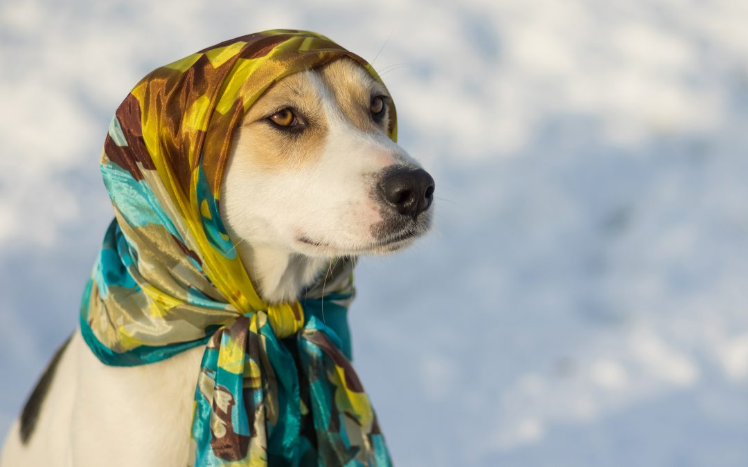 keikei ~ Outdoor portrait of mixed-breed dog wearing shawl at sunny winter day