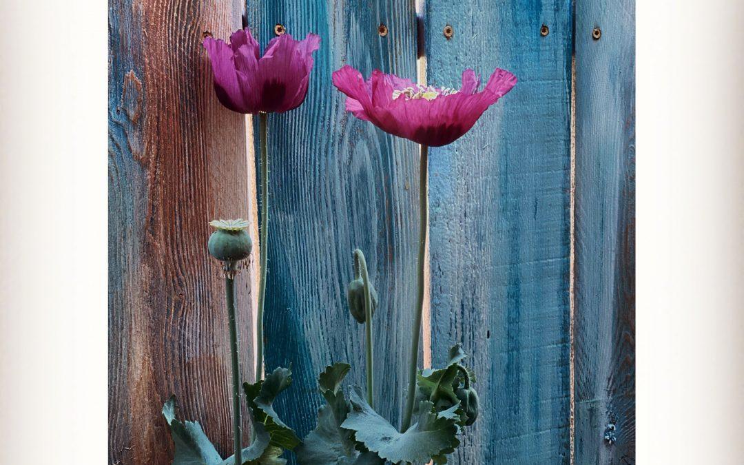 Meri Walker ~ Wallflowers.