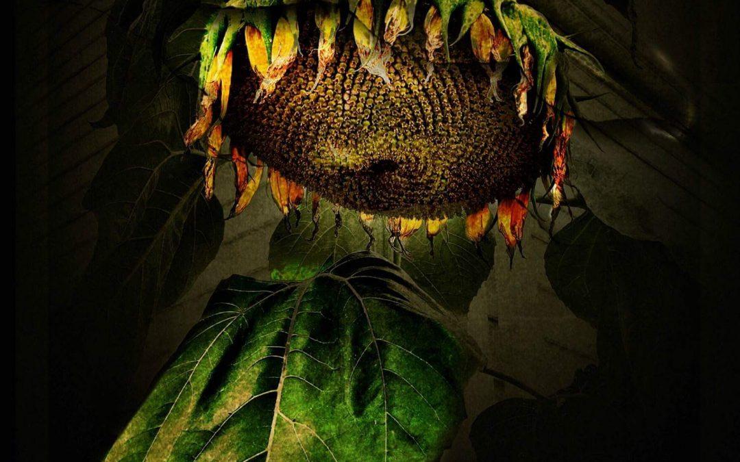 Paul Toussaint ~ Sunflower